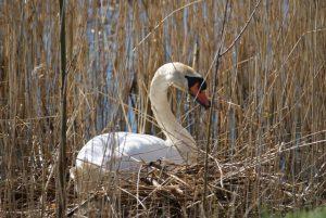 haiku's-ontspannenwerken.nu-lentegedichten-schrijven-over-mindfulness-zwaan-op-nest